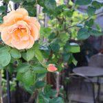 薔薇が見ごろ!八起のお庭