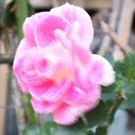 強風に揺れるバラの花