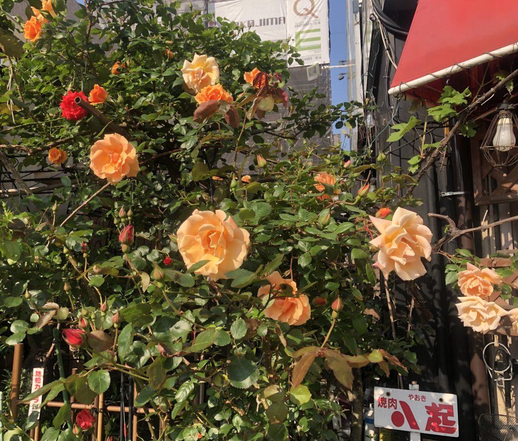 八起の5月の薔薇