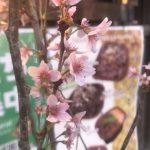 満開の桜、きれい~♪